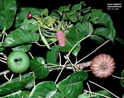 Siapa sangka, selain unik tumbuhan ini juga bermanfaat lho