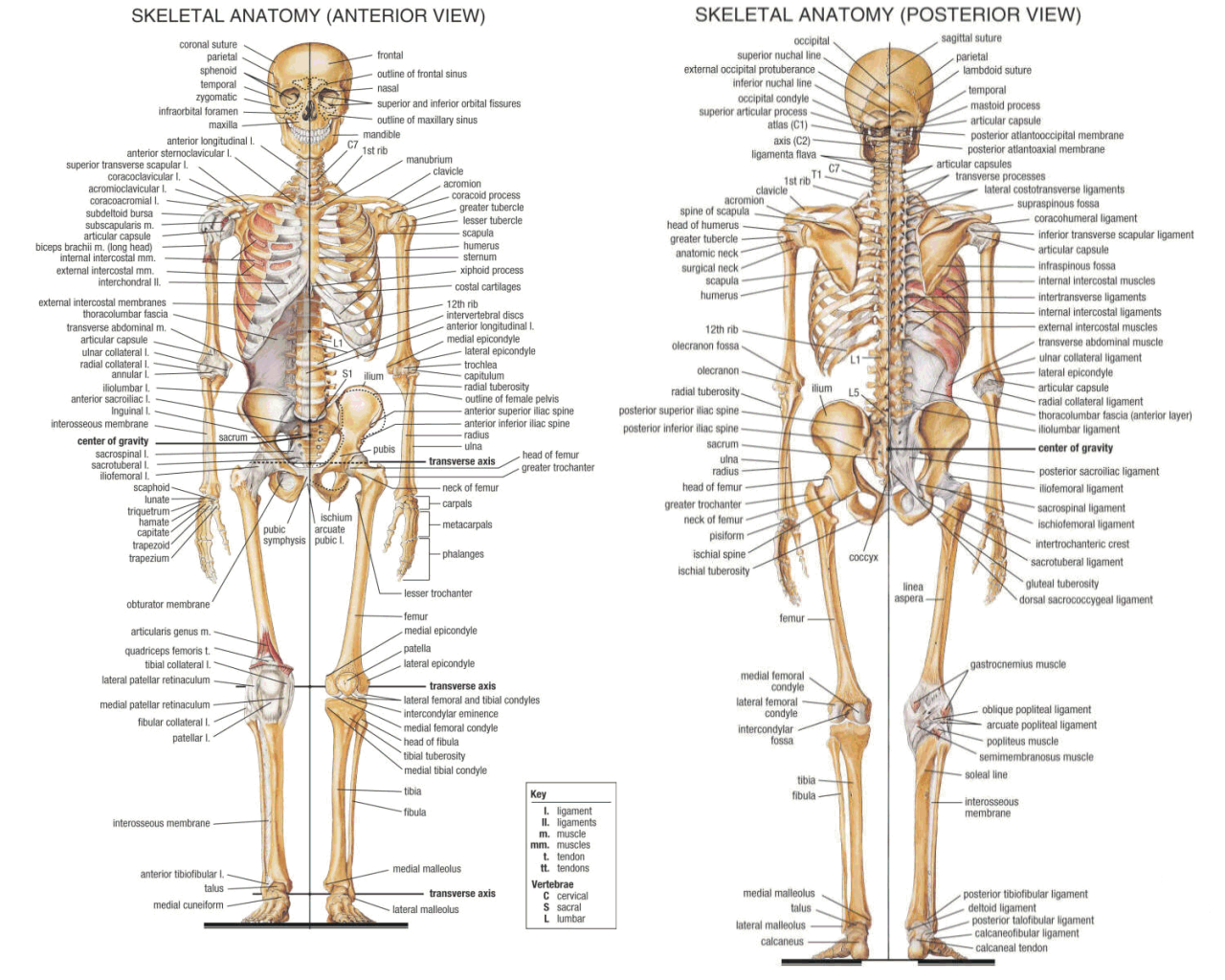 Medical Handbook Vol One Possessing T Muscles In The Body Diagram Tag Full Of Human
