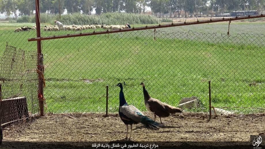 ولاية الرقة // مزارع تربية الطيور في شمال ولاية الرقة coobra.net