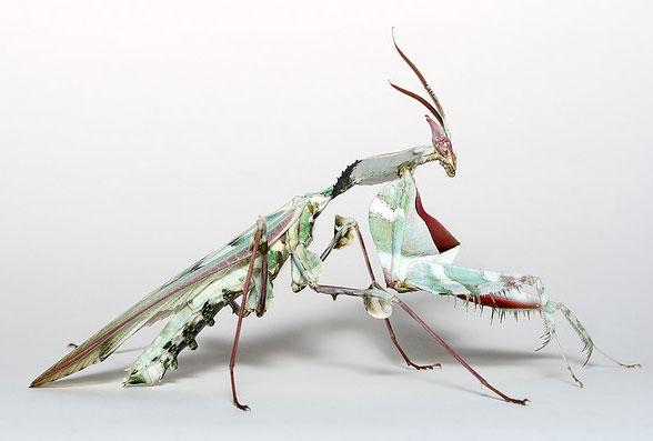 mantis11.jpg