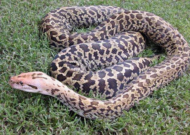 python-large.jpg