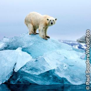 Niedźwiedź polarny na niewielkiej bryle lodu