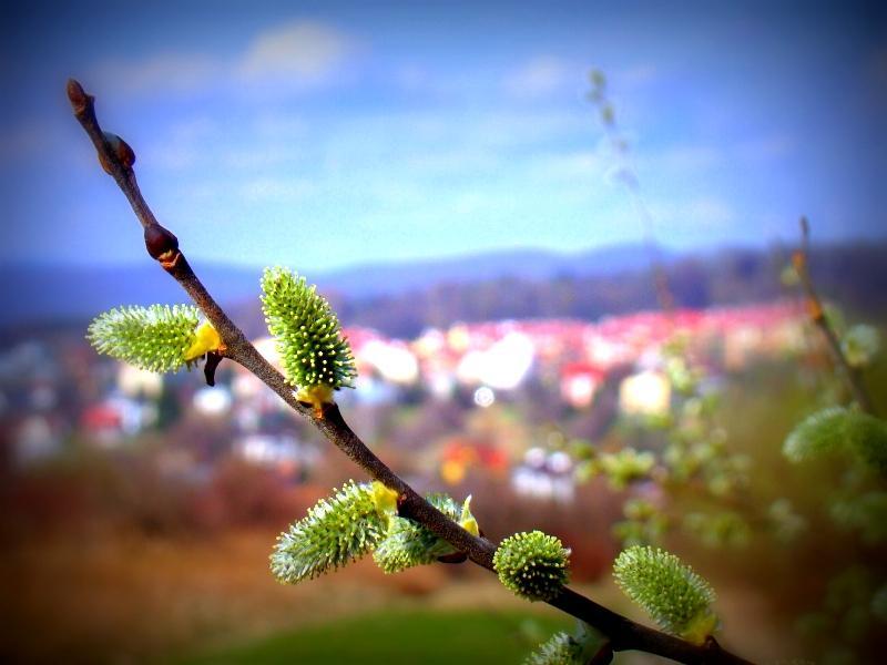 Wiosenne bazie, foto: Silar, źródło: Wikipedia, licencja: CC3.0