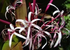 spring-flowers-crinum