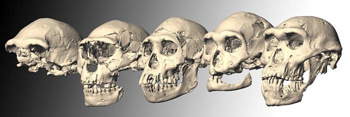 Crânes de Dmanisi Reconstructions