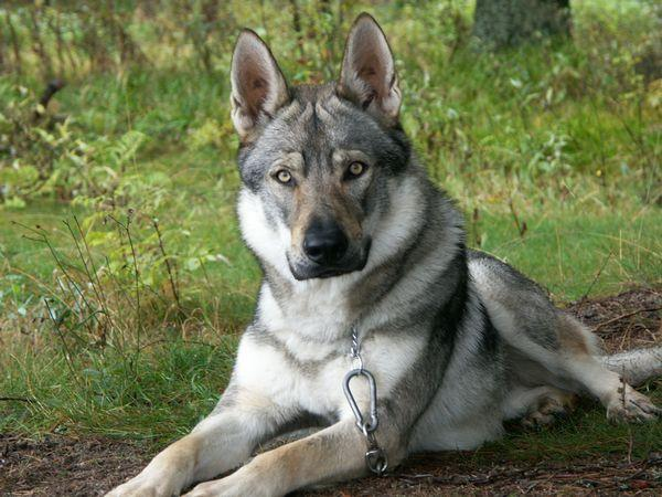 Image result for german shepherd wolf mix