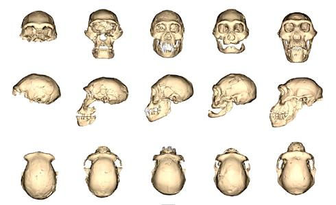 Les crânes retrouvés à Dmanisi