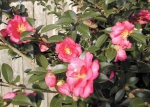 spring-flowers-camellia