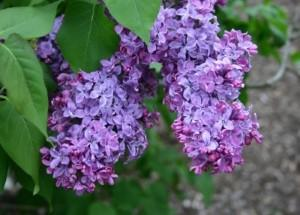 spring-flowers-lilac