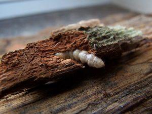 Szkodniki drewna zwalczanie, dezynsekcja, gazowanie