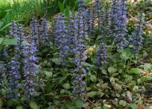 spring-flowers-bugleweed