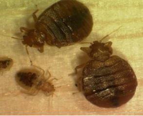 bed bugs wesley chapel fl.jpg
