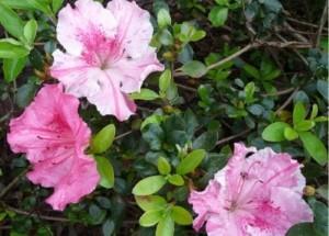 spring-flowers-azalea