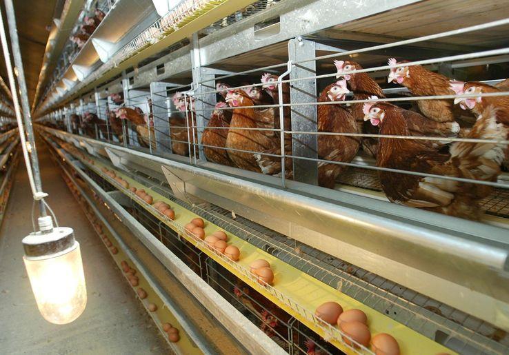 Carrefour, Netto, Intermarché , Monoprix, Super U... veulent cesser la commercialisation des œufs de poules élevées en cage. La grande distribution est-elle en train de se convertir ?