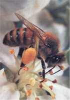 Pyłek kwiatowy to między innymi witaminy i minerały.