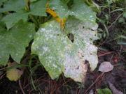 Mączniak prawdziwy na liściach ogórka.
