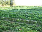 Przykład zróżnicowanej uprawy współrzędnej - Capay w Kalifornii.