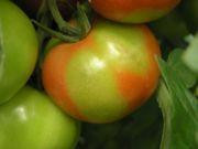 Początki niedoboru wapnia. Niedobór wapnia prowadzi z czasem u pomidora do suchej zgnilizny wierzchołkowej owoców, poważnej choroby fizjologicznej.