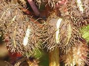 Z oleistych nasion rącznika wytwarza się bogaty w składniki nawóz roślinny.