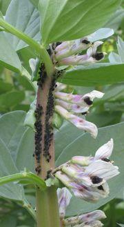 Mszyca burakowa jest najgroźniejszym gatunkiem mszyc występującym w naszych ogrodach. Atakuje bób (na zdjęciu), buraki, mak, fasolę, jaśminowiec i wiele innych roślin. Nawet larwy biedronek i muchówek nie są w stanie same ograniczyć liczebności tej mszycy do bezpiecznego poziomu.