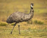 Emu - gaz.wiki