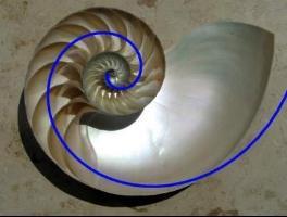 [Nautilus with Fibonacci spiral]