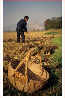 Figure 1: Manuring and preparing soils for wheat planting, Xueyan, Jiangsu, China (courtesy of the author).