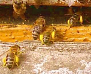 Dieta pszczół to pyłek (białko, witaminy i minerały) i nektar (węglowodany, enzymy).