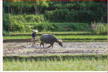 Figure 2: Water buffalo plowing in preparation for rice transplanting, Dianbai, Guangdong, China  courtesy of the author).