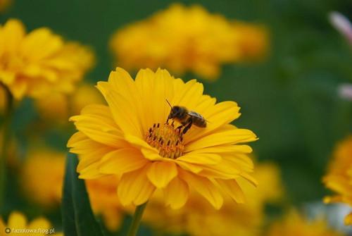 z-mego-wonnego-kwiatu-pracowite-pszczoly-biora-miod-ktory-potym-szlachci-panskie-stoly.jpg