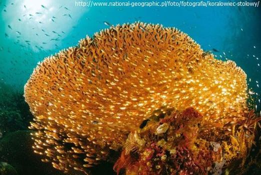 1-koralowiecstoowy.jpg