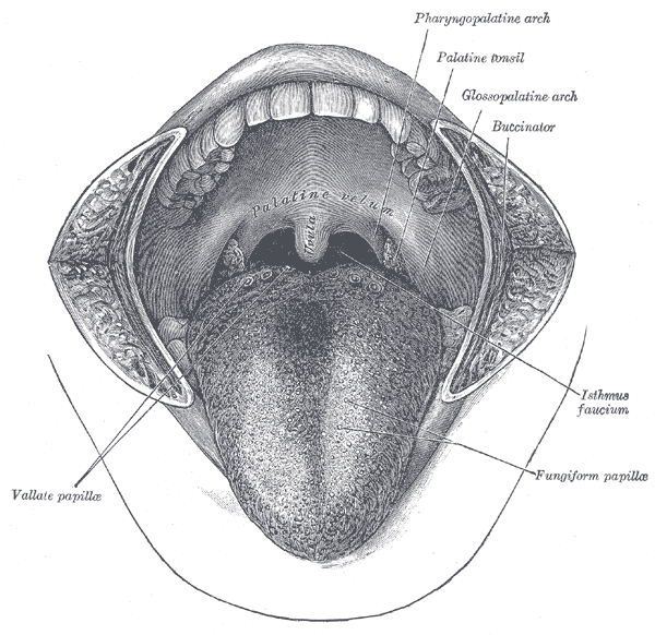 The mouth cavity. The cheeks have been slit transversely and the tongue pulled forward.