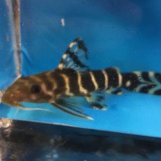 exoticfishshop.net-Synodontis-brichardi-catfish-1-e1517269866935.jpg