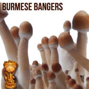 burmese300x300.jpg