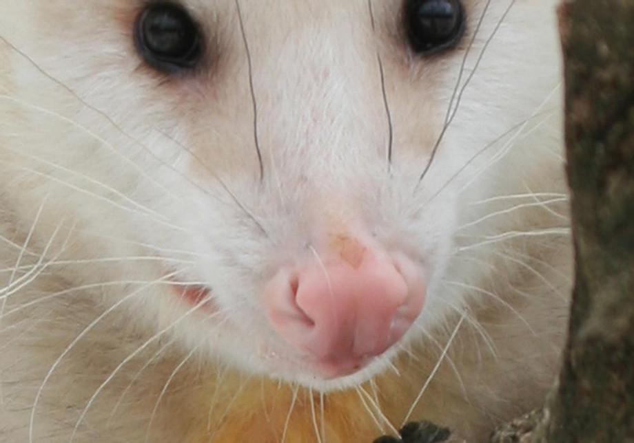 opossumnose.jpg