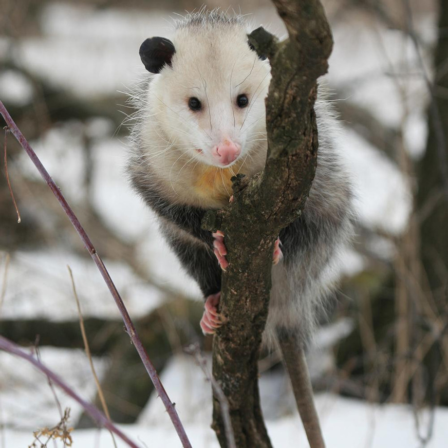 opossum1000x1000.jpg